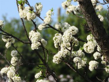 スモモの花(李) 散策路 210403撮影 1292