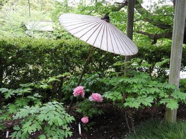 牡丹 鎌倉神苑ぼたん庭園 160429撮影 58
