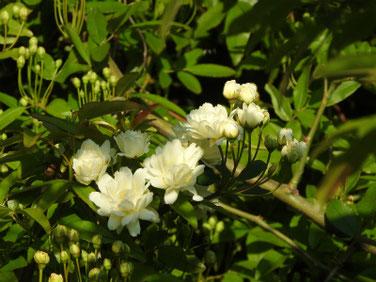 木香薔薇黄色(もっこうばら)散策路200406撮影 1031