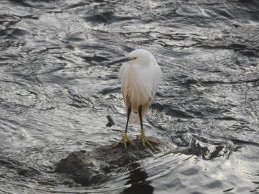 小鷺(こさぎ)雪の散策路河川 180123撮影 136