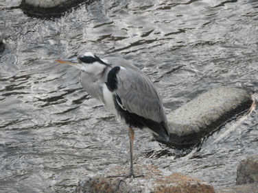 青鷺(あおさぎ) 散策路河川 191107撮影 422