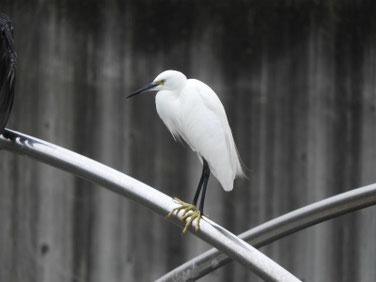 小鷺(こさぎ) 散策路河川 200927撮影 544