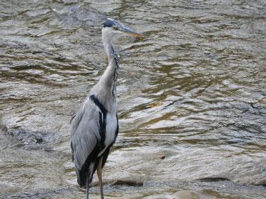 青鷺(あおさぎ) 散策路河川 190908撮影 382
