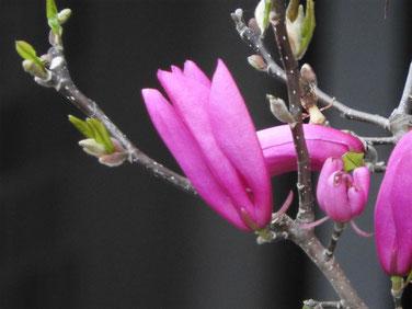 紫木蓮(しもくれん) 散策路 160402撮影 19