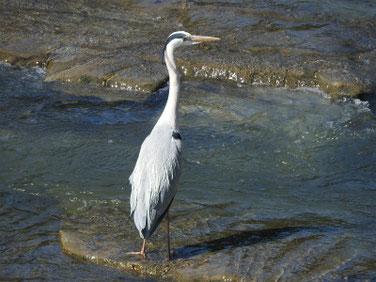 青鷺(あおさぎ) 散策路河川 180428撮影 179