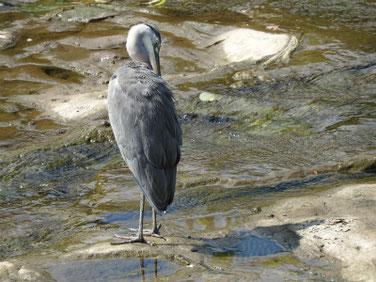 青鷺(あおさぎ) 散策路河川 190805撮影 359