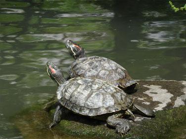 アカミミガメ 親水公園 180529撮影 186