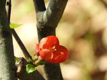 木瓜の花 散策路Ⅱ 170312撮影 116