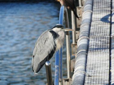 青鷺(あおさぎ) 散策路河川 191116撮影 430