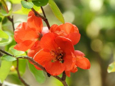 緋木瓜の花 散策路 170320撮影 133
