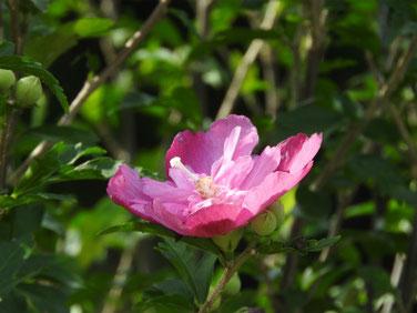 木槿(むくげ)八重 散策路 200712撮影 817