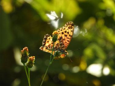 小栴檀草と蝶 散策路 161112撮影 25