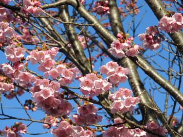 陽光桜(ようこうざくら) 散策路公園 210314撮影  1233