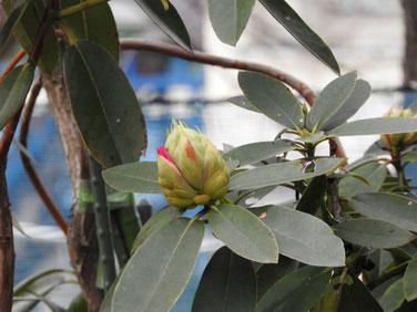 石楠花の蕾(しゃくなげ)福泉寺 170318撮影 121