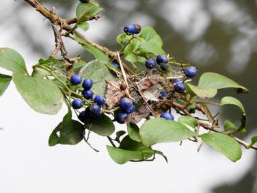 沢蓋木の青い実(サワフタギ)親水緑道210908撮影 504