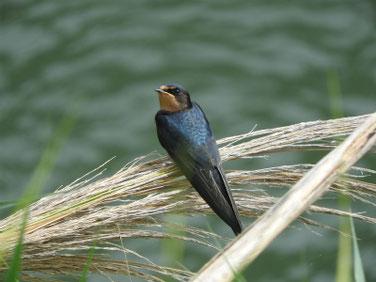 燕(つばめ) 散策路河川 200712撮影 519