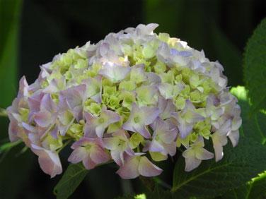 紫陽花(あじさい) 散策路 170606撮影 154