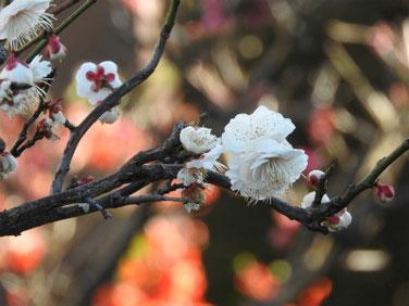 杏の花(あんず) 散策路 200218撮影 154