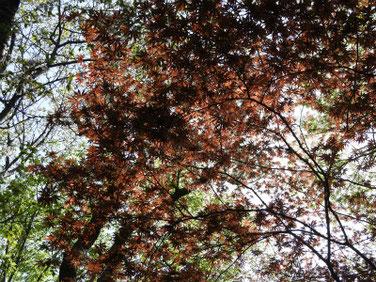 春もみじ 散策路 210331撮影 1288