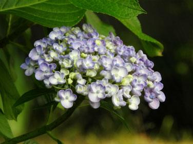 紫陽花(アジサイ) 散策路 210530撮影 1484