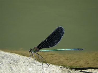 羽黒蜻蛉(はぐろとんぼ)散策路池 180928撮影 221