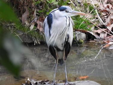 青鷺(あおさぎ)親水公園 200205撮影 457