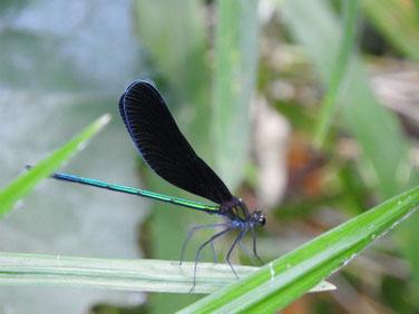 羽黒蜻蛉(はぐろとんぼ)散策路池 180708撮影 204