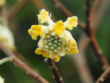 三椏の花(みつまた)散策路公園 180304撮影 306