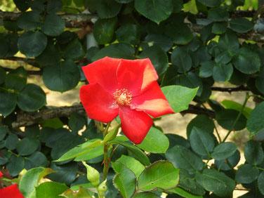 薔薇赤 鎌倉文学館 160610撮影 40