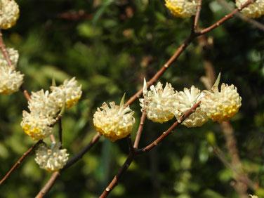 三椏の花(みつまた) 散策路 170328撮影 148