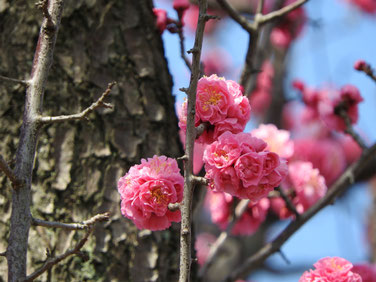 花桃の花 散策路 170318撮影 123