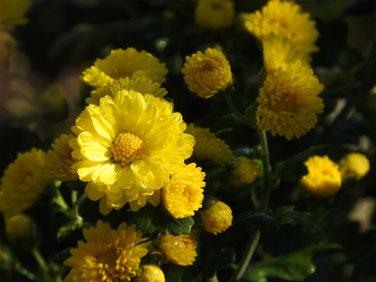 黄色の小菊 散策路 161112撮影 80