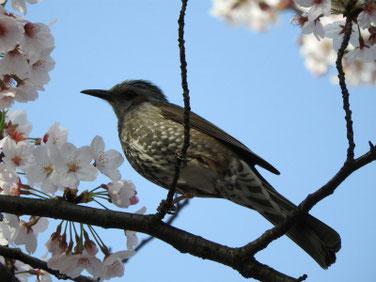 桜とヒヨドリ 散策路 210331撮影 621