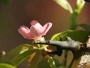花梨の花(かりん) 散策路 190420撮影 757