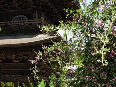 荻の花(はぎのはな) 建長寺 170919撮影 117