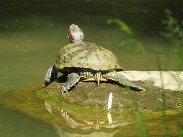 アカミミガメ 親水公園の池 200505撮影 502