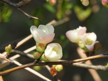 木瓜の花 散策路Ⅱ 170312撮影 115