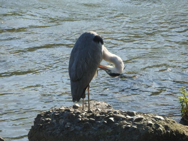 青鷺(あおさぎ) 散策路河川 191106撮影 421