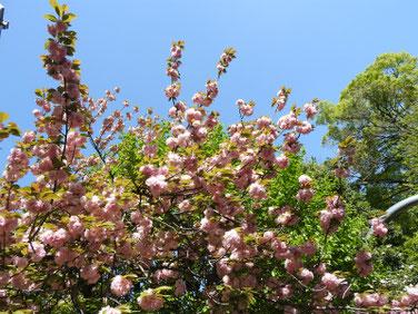 八重桜(やえざくら) 散策路 210411撮影 1326