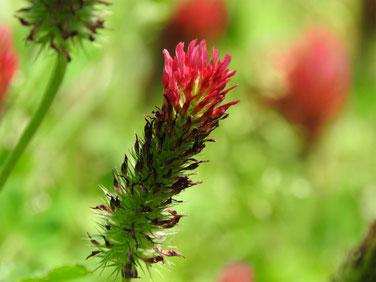 紅花詰草(べにはなつめぐさ) 散策路 160505撮影 61