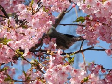 寒桜(かんざくら) 散策路 190305撮影 594
