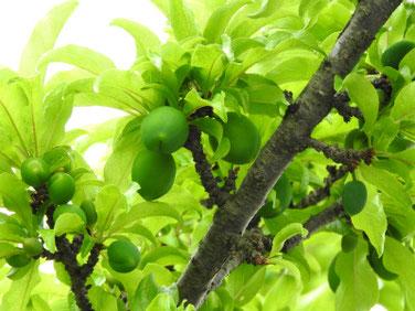 スモモの花(李) 散策路 210516撮影 1442