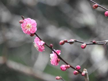 紅梅(こうばい) 荏柄天神社 180118撮影 65
