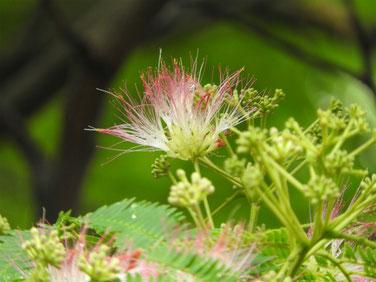 合歓の花(ねむ) 散策路 160609撮影 46
