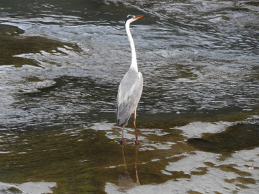 青鷺(あおさぎ) 親水公園 180805撮影 212