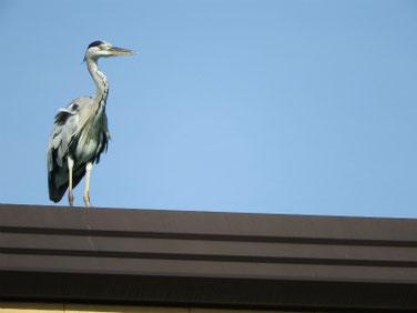青鷺(あおさぎ) 散策路河川 180818撮影 214