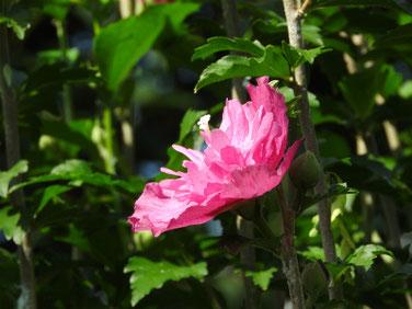 木槿(むくげ) 散策路 190805撮影 681