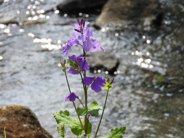 紫花菜 散策路 170325撮影 135