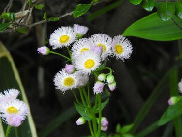春紫苑(はるじおん) 散策路 180421撮影 462