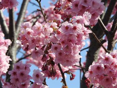 陽光桜(ヨーコー) 散策路 170328撮影 154